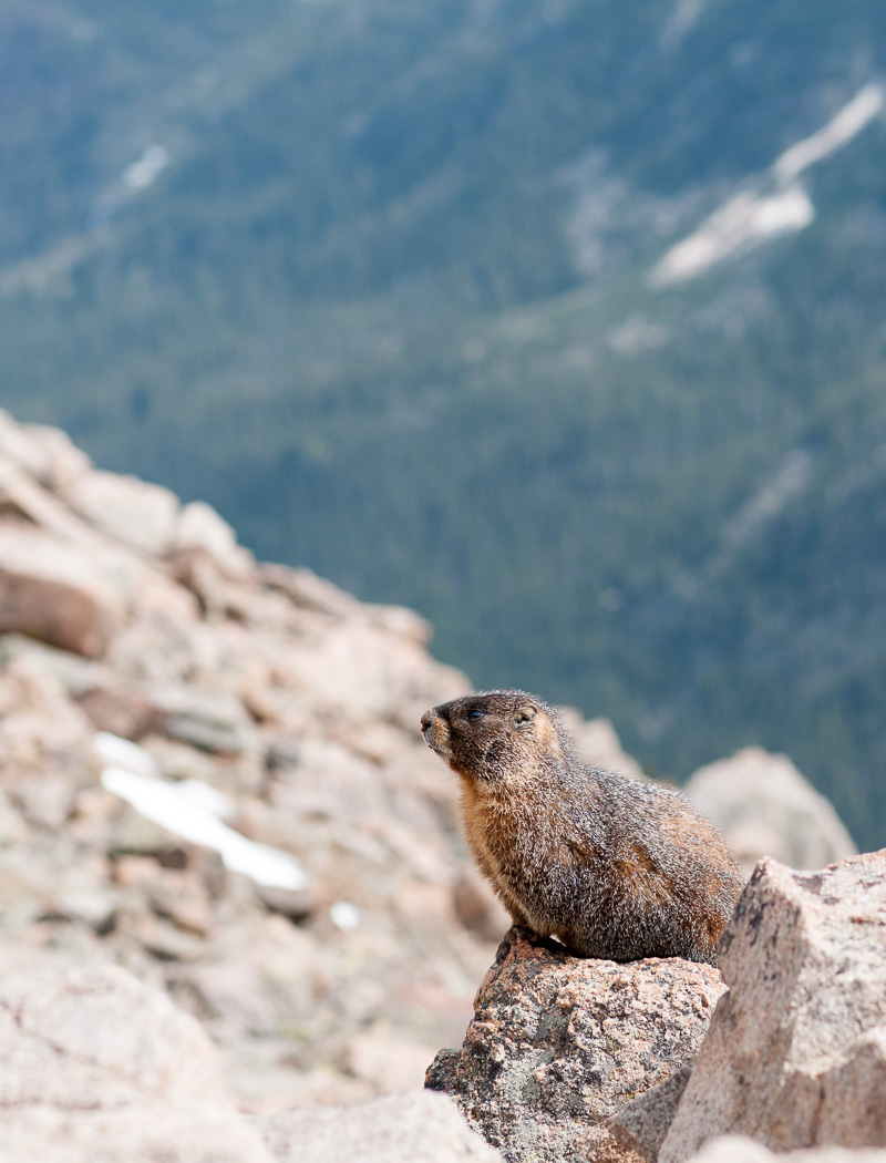Yello-bellied marmot.
